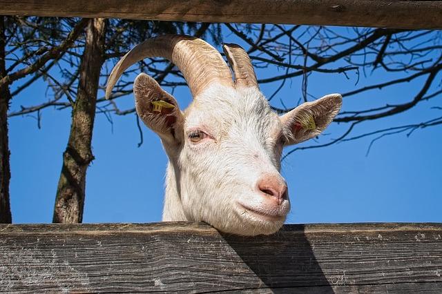 Viera v mágiu spôsobila, že v Nigérii zatkli kozu ako páchateľa trestného činu